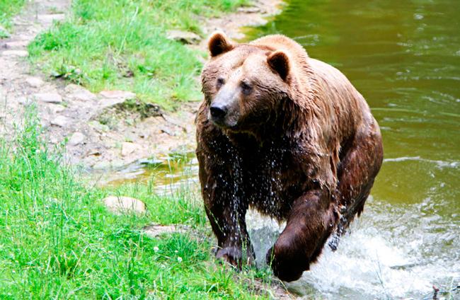 Медведь в Ергаках